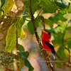 'I'iwi. An endangered endemic wet forest Honey Creeper. Hakalau Forest, Mauna Kea, Hawaii. #23.1399. 3x4 ratio format.