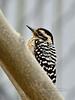 Woodpecker, Ladderback, female. Yavapai County, Arizona. #37.032.