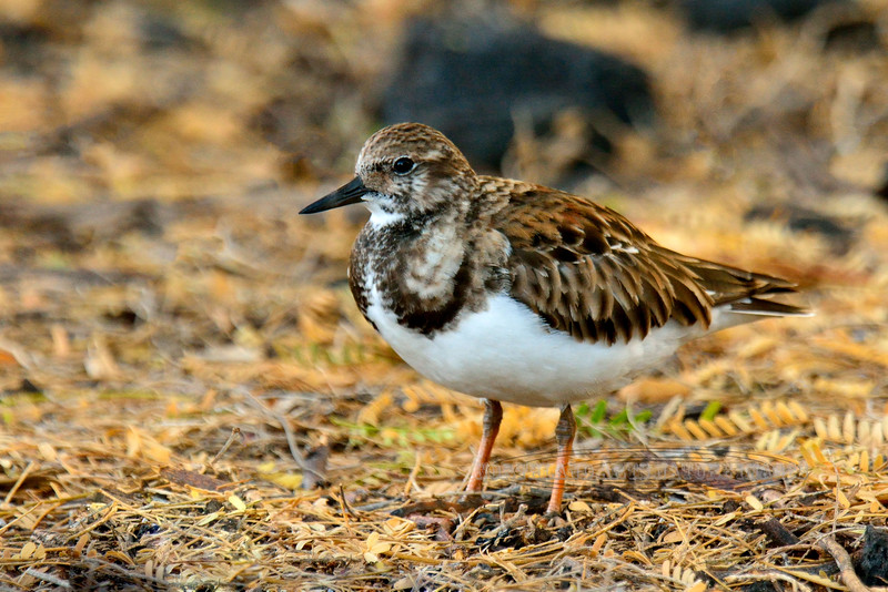Turnstone, Ruddy. Near Aimakapa Pond, Hawaii. #22.631. 2x3 ratio format.