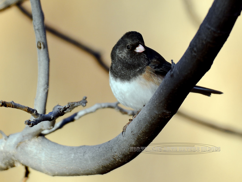 Junco, Dark-eyed, Oregon race. Yavapai County, Arizona. #1118.053.