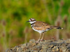 Killdeer 2012.6.17#433. Dewey Saddle Road, near Grangeville, Idaho.