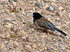 Junco, Dark-eyed 2017.11.29#834. Oregon race. South rim Grand Canyon, Coconino County Arizona.