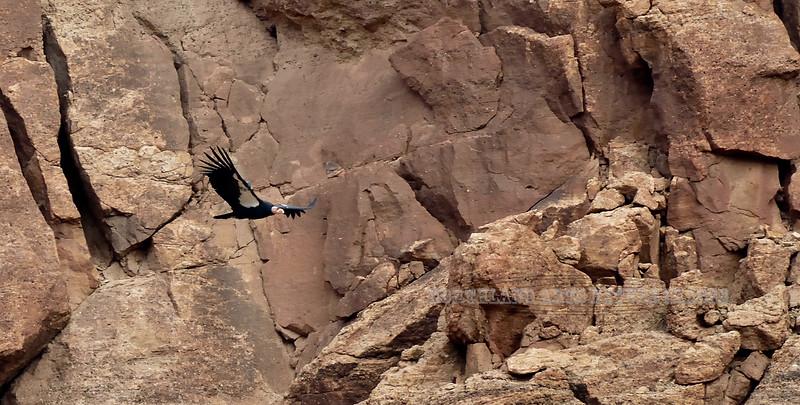 Raptors & allies-Condor, California 2018.10.23#609. 2Vermillion Cliffs Arizona.