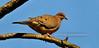 Dove, Mourning 2008.4.16#054. Lodi Hill Rd., Bucks County Pennsylvania.