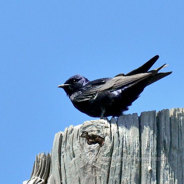 Purple Martin. Peace Valley, Pennsylvania. #510.279.