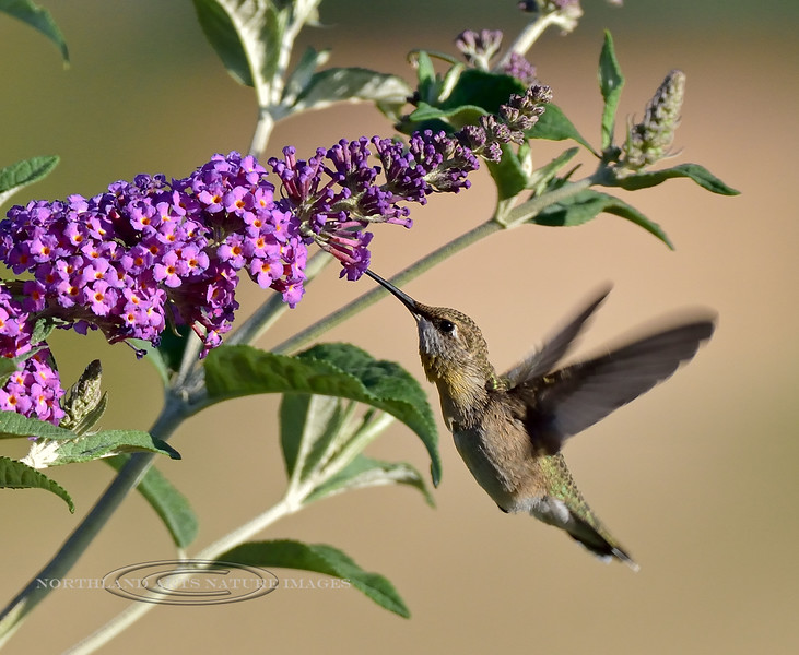 Hummingbird, Black-chinned 2019.6.5#599. A mature female near Hereford Arizona.