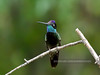 Hummingbird, Magnificent 2019.4.29#486. Renamed Rivoli's now. Santa Rita  mountains, Arizona.