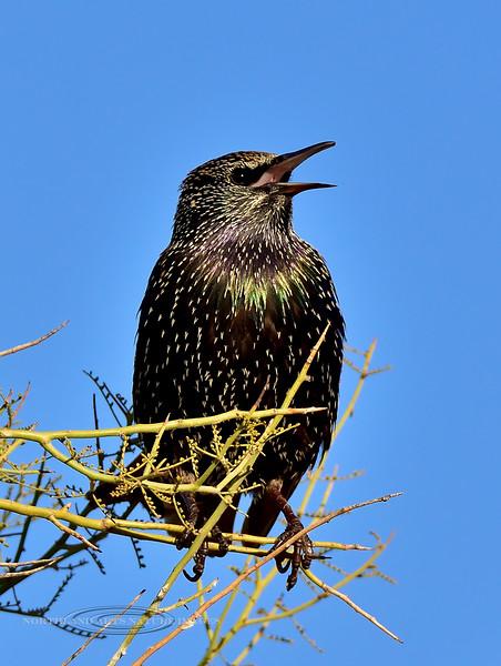 Starling. Maricopa County, Arizona. #1213.165.