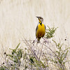 "Meadowlark, ""Lillian's"" Eastern 2018.3.19#018. Near Hereford, Arizona."