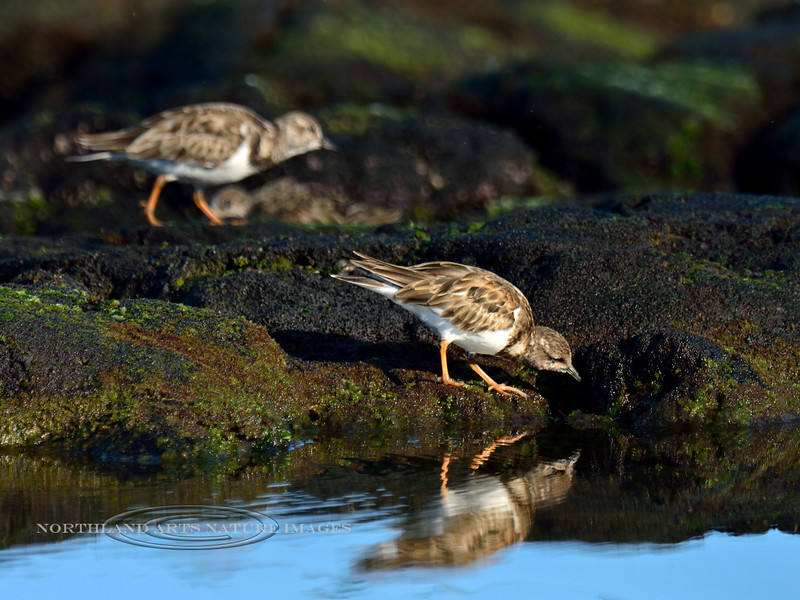 Turnstone, Ruddy. Near Aimakapa Pond, Hawaii. #72.724. 3x4 ratio format.