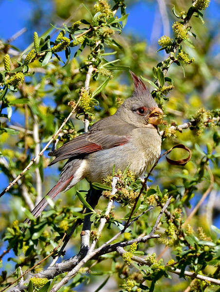 Pyrrhuloxia. White Water Draw, Arizona. #320.331.