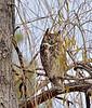 Raptors & allies-Owl, Great Horned 2019.12.12#020.2. Prescott Valley Arizona.