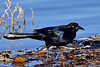 Grackle, Great-tailed 2017.12.19#050. Yavapai Lake, Prescott Valley Arizona.