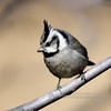 Titmouse, Bridled. Yavapai County, Arizona. #225.349.