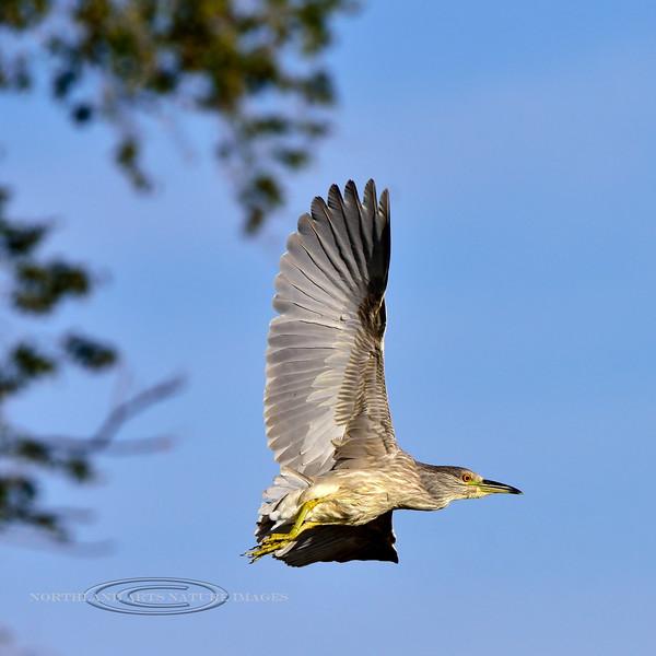 Heron, Black Crowned Night. A juvenile. Wilcox Arizona. #1114.629.