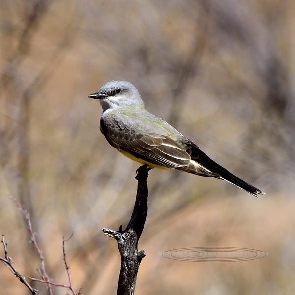 Kingbird, Tropical. Near Roosevelt Lake Arizona. #413.3375.