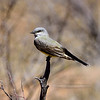 Kingbird, Tropical. Near Roosevelt Lake Arizona. #413.3375.