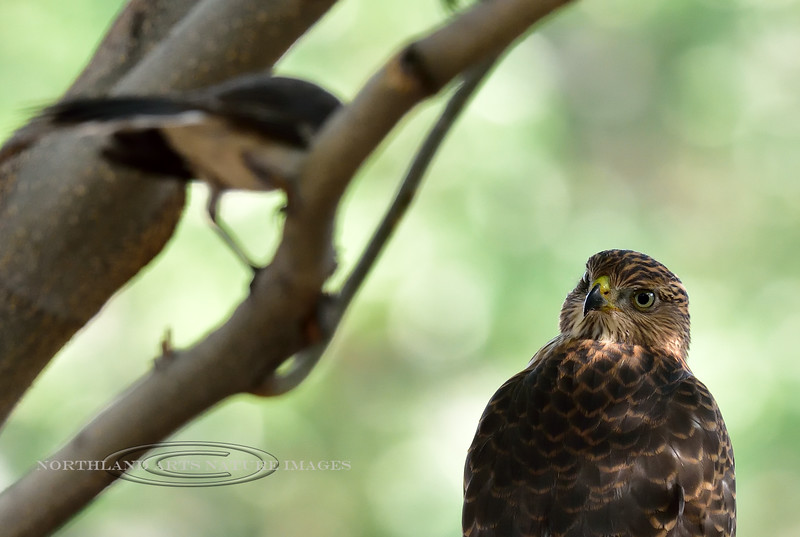 Raptors & allies-Hawk, Cooper's 2018.8.2#053. This hawk has just captured the Mockingbirds mate. The Mockingbird fearlessly attacked and harassed the hawk for nearly seven hours. Prescott Valley Arizona.