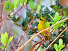 Amakihi, an endemic honeycreeper of the high mountain forests. Hakalau Forest, Mauna Kea, Hawaii. #23.1220. 3x4 ratio format.