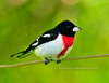Grosbeak, Rose-breasted. A handsome male. Bucks Co.,PA. #510.257. Will accommodate 2x3 or 3x4 ratio format.