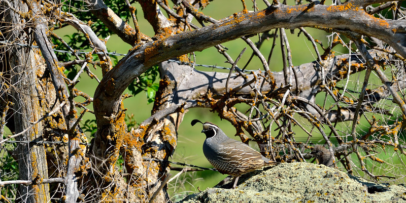 Quail, California. Old White Bird grade,Idaho. #512.019. 1x2 ratio format.