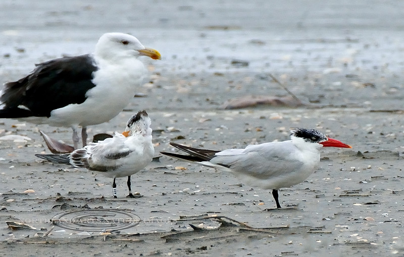 Tern, Caspian 2020.9.18#4381.5. With a Royal and a Great Black-backed Gull. Stone Harbor Point, Cape May, New Jersey.