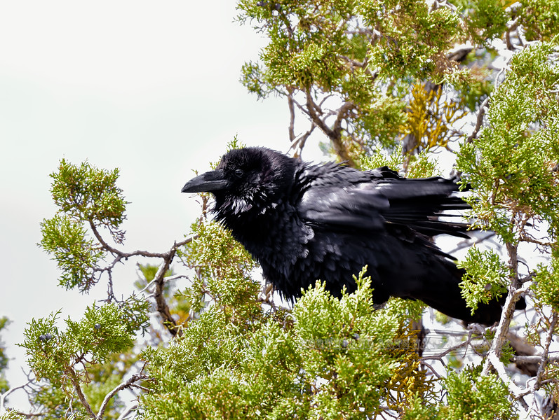 Raven, Common 2018.6.6#103. Desert View Grand Canyon Nat Park Arizona.