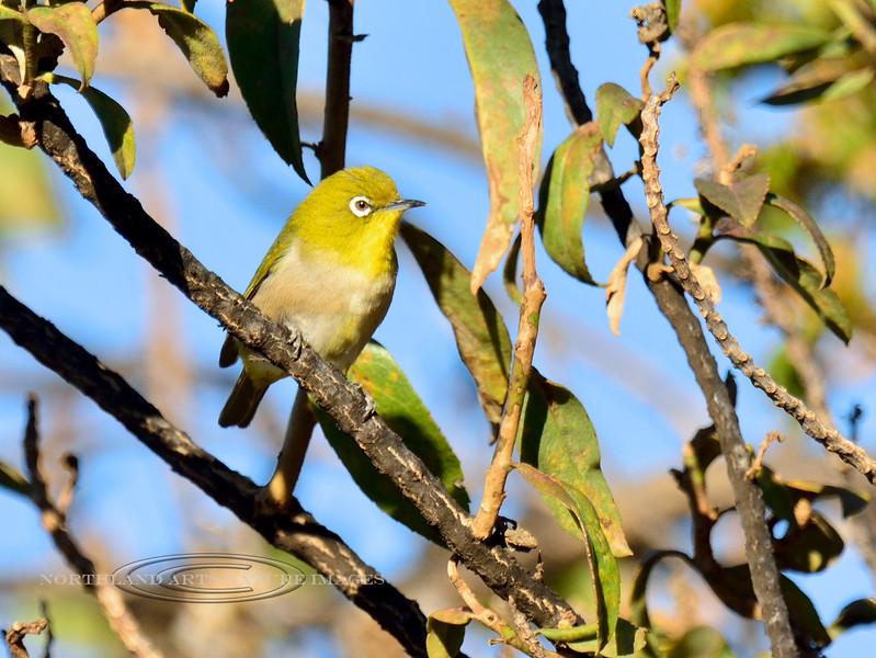 Japanes White-Eye. An alien bird found throughout the Hawaiin Islands. Sandalwood, Pu'u La'au, Mauna Kea, Hawaii. #27.237. 3x4 rtio format.