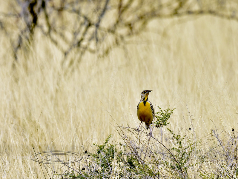 "meadowlark, ""Lillion's"" Eastern. near Hereford, Arizona. #319.006."