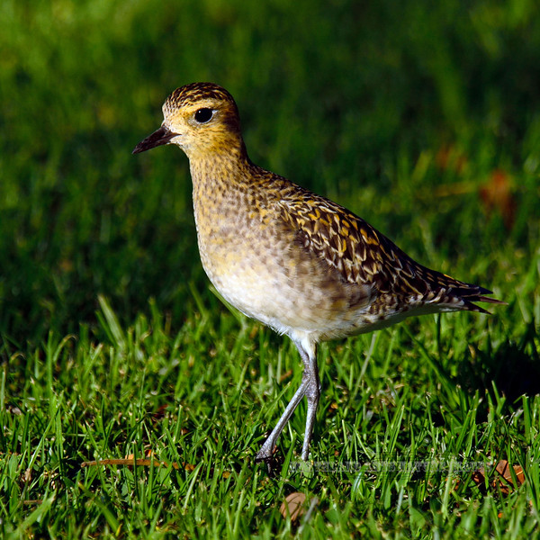 Plover, Pacific Golden. Big Island Country Club, Hawaii. #26.105. 1x1 ratio format.