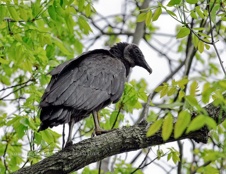Raptors & allies-Vulture, Black 2012.4.27#198. Quarry Road, Bucks County Pennsylvania.