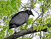 Raptors & allies-Vulture, Black. Bucks County, PA. #427.198.