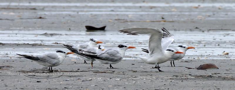 Tern, Royal 2020.9.18#4390.3. Stone Harbor Point, Cape May, New Jersey.