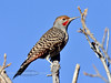 Northern Red-shafted Flicker 2017.11.9#092. A mature male. Mingus Mountain, Yavapai County Arizona.
