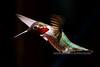 Hummingbird, Anna's. Yavapai County, AZ. #426.134. 2x3 ratio format.