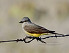 Kingbird, Western 2020.4.23#0358.3. Prescott Valley, Arizona.