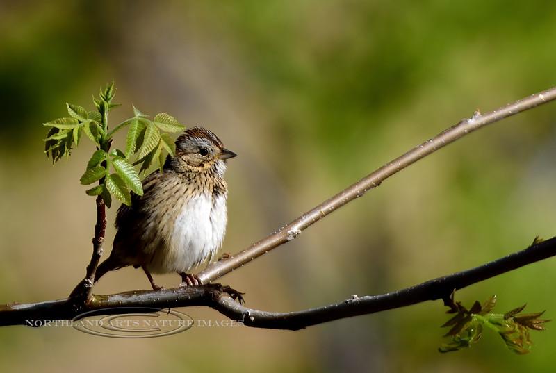 Sparrow, Lincoln's. Mingus Mountain, Yavapai County Arizona. #53.492.