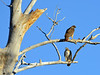 Raptors & allies-Hawk, Redtailed. Willow Lake, Prescott Arizona. #119.240.