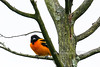 Oriole,Baltimore. Bucks Co.,PA. #57.234. 2x3 ratio format.