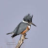 Kingfisher, Belted. A female showing the rusty breast band. Yavapai County Arizona. #15.274.