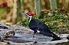 Woodpecker, Pileated 2010.5.18#209.6c. Upper Black Eddy, Bucks County Pennsylvania.
