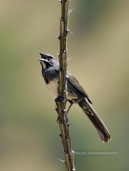Sparrow, Five-striped 2019.6.4#274. Santa Rita mountains Arizona.