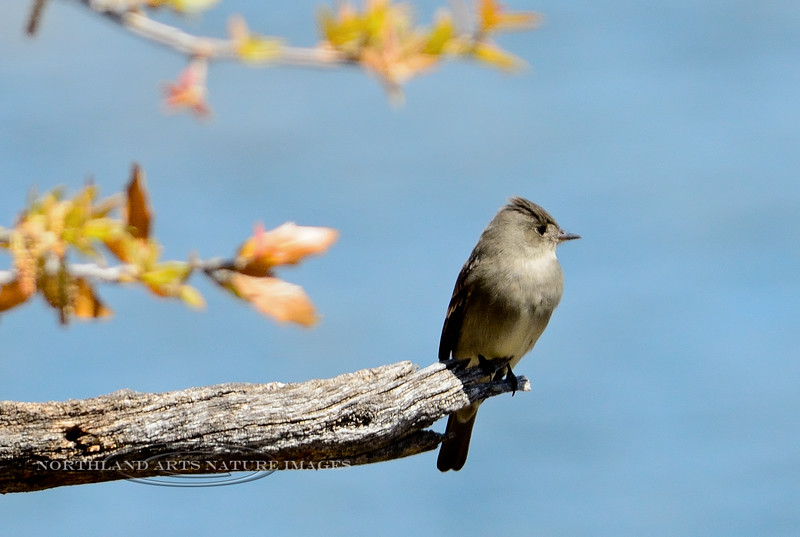 Pewee, Western Wood. Yavapai County, AZ. #427.335. 2x3 ratio format.