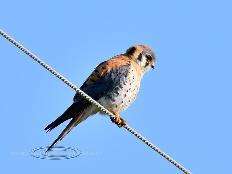 Kestrell, American (Falco sparverius).  Scans for prey. Camas Prairie, ID. #513.428. 3x4 ratio format.