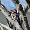 Woodpecker, Ladder-backed 2020.2.3#8588.2. A mature male. Mariner Road, Prescott Valley, Arizona.