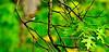 Warbler, Worm-eating. Lake Warren,Bucks Co.,PA. #53.035. 1x2 ratio format.
