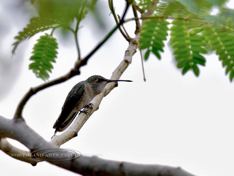 Hummingbird, Black-chinned 2018.5.6#037, A female. Prescott Valley, Arizona.