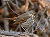 Thrush,Hermit. Maricopa County, Arizona. #1122.054.