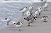 Red Knot 2020.9.18#4498.2. Hanging with a flock of Sanderlings. Stone Harbor point, Cape May, New Jersey.
