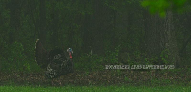 Turkey, Eastern 2012.5.5#272. Early mourning Gobbler. Penns Woods. Bucks County Pennsylvania.